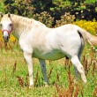 Stock Photo: Typical white Camargue Horse,France