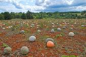 Melon Field in Istria,Croatia — Stock Photo