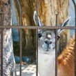 Animal Guanaco, LamOn Outdoor — Stock Photo #12127964