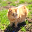 Young kitten in grass outdoor shot at sunny day — Stock Photo