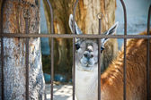 Animal Guanaco, Lama On Outdoor — Stock Photo