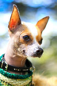 Magnificent red chihuahua dog portrait on a natural greens blurred background — Stock Photo