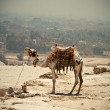 Camel caravan in desert - Stock Photo