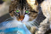 Close-up portrait of green-eyed Siberian cat — Stock Photo