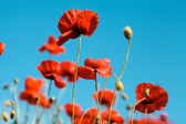 Meadow of blooming red poppies under sunny blue skies — Stock Photo
