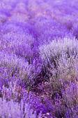 Lavender Flowers — Stock Photo