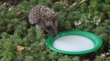The hedgehog drinks milk from a plate in the wood — Stock Video