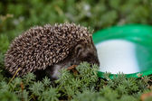 Hedgehog in forest — Stock Photo