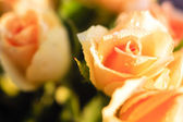 Orange roses with morning dew — Stock Photo