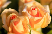 Orange roses with morning dew, close shot — Stock Photo