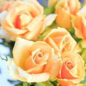 Orange roses in foreground and background, square format — Stock Photo