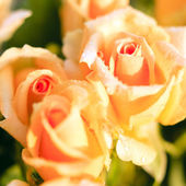 Three orange roses, square format — Stock Photo