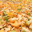 Fall foliage — Stock Photo #12366765