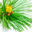 Foto Stock: Evergreens