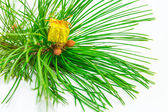 Evergreens — Stockfoto