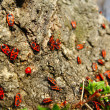 Stock Photo: Red beetles on spring sun