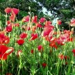 Poppies field in rays sun — Vídeo Stock