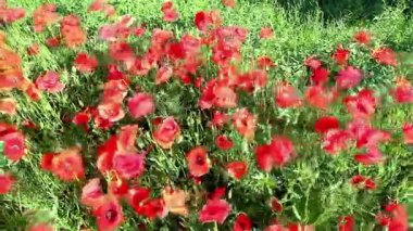 Poppies field in rays sun — Stock Video