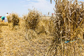 Bundle of wheat — Stock Photo