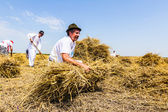 Farmer gather wheat — Stock Photo
