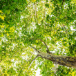 Stock Photo: Tree from below