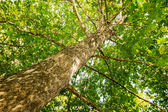 Tree from below — Stock Photo