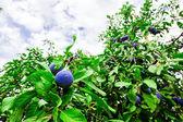 杂草丛生的李子树 — 图库照片
