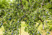 Overgrown plum tree — Stock Photo