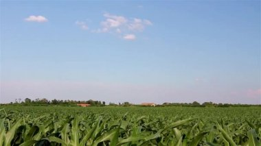 Corn field — Stock Video