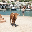Traditional bull party in Javea, Spain - Foto de Stock