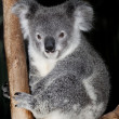 Stock Photo: Cuddly cute koala