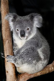 Cuddly cute koala — Stock Photo