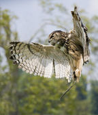 Owl in flight above prey — Stock Photo
