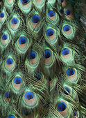 Peacock Background — Stock Photo