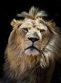 Lion puzzled — Stock Photo