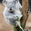 Koala awake — Stock Photo