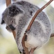 Koala hanging — Stock Photo