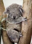 Koala asleep — Stock Photo
