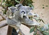 Koala with baby — Stock Photo