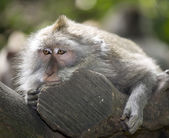 Monkey in Bali — Stock Photo