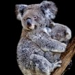 Koala bear — Stock Photo