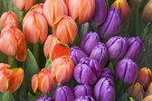 Tulips beautiful — Stock Photo