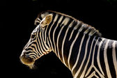 Zebra against black — Stock Photo