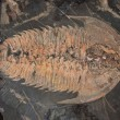 Stock Photo: Fossil horse shoe crab