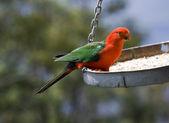King parrot — Stock Photo