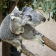 Koala with baby — Stock Photo #17324287