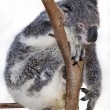Chilled koala — Stock Photo