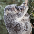 Koala australian and baby — Stock Photo