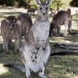 Kangaroo — Stock Photo #17324353