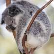 Koala asleep — Stock Photo